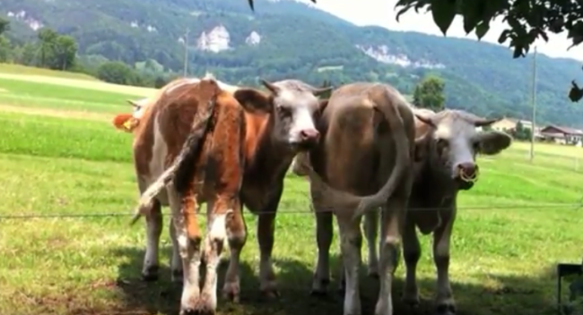 (VIDEO) Tao is Love – See how these cattle are being cared for